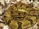 Yellow Phase Timber Rattlesnake - Beaver Pond
