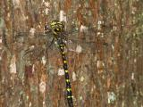 Twin-spotted Spiketail - Beaver Pond