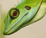 MC10 Eyes2nd placeGreen Crested Lizard Red Eye by tchuanye, FZ10