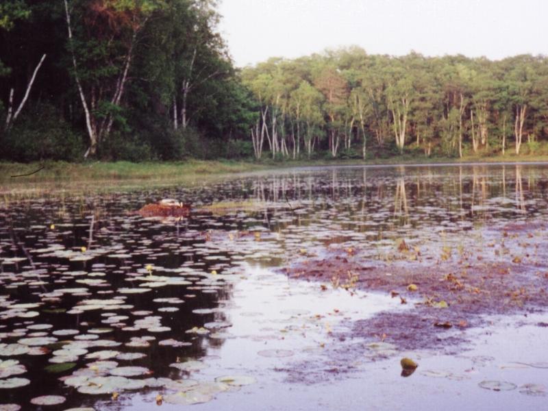 Little Phantom Lake - Loon