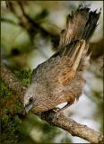 Apostle Bird.jpg