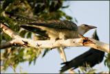 Channel Billed Cuckoo.jpg