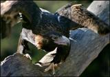 Wedge Tailed Eagle.jpg