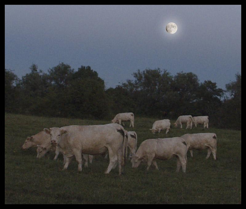 cows in moonlight.jpg