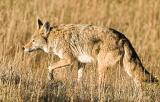 coyote4dpr.jpg
