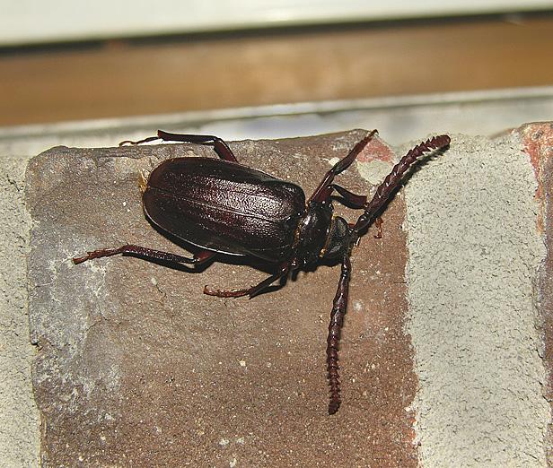 Tile-horned Prionus Beetle