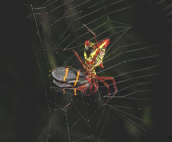 Arrow-shaped Micrathena Spider with Spittlebug Prey
