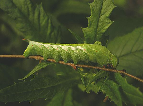 Virginia Creeper Sphinx Caterpillar (7885)