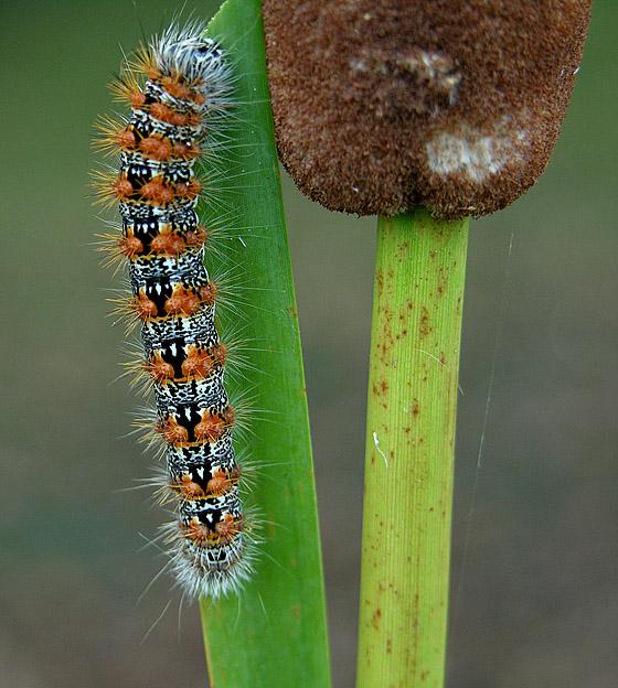 Cattail Caterpillar Moth (9280)