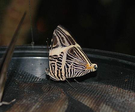Mosaic (Zebra Mosaic)