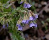 Narrow-leaf Bluebells
