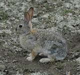 Mountain Cottontail (Nuttall's Cottontail)
