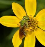Hactilid Bee