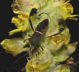 Eastern Leaf-footed Bug (Leptoglossus phyllopus)