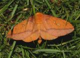Spiny Oakworm Moth (7716)