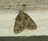 Southern Oak Dagger Moth (9249)