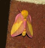 Rosy Maple Moth (7715)
