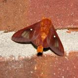 Pink-striped Oakworm Moth (Male) (7723)