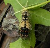 Unidentified Caterpillar