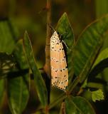 Ornate Bella Moth (8105)