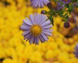 Aster (Michaelmas daisy )