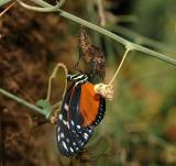 Tiger Longwing Emerging from Chrysalis