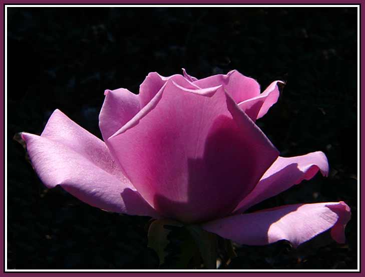 September 16 - Irresistible Rose