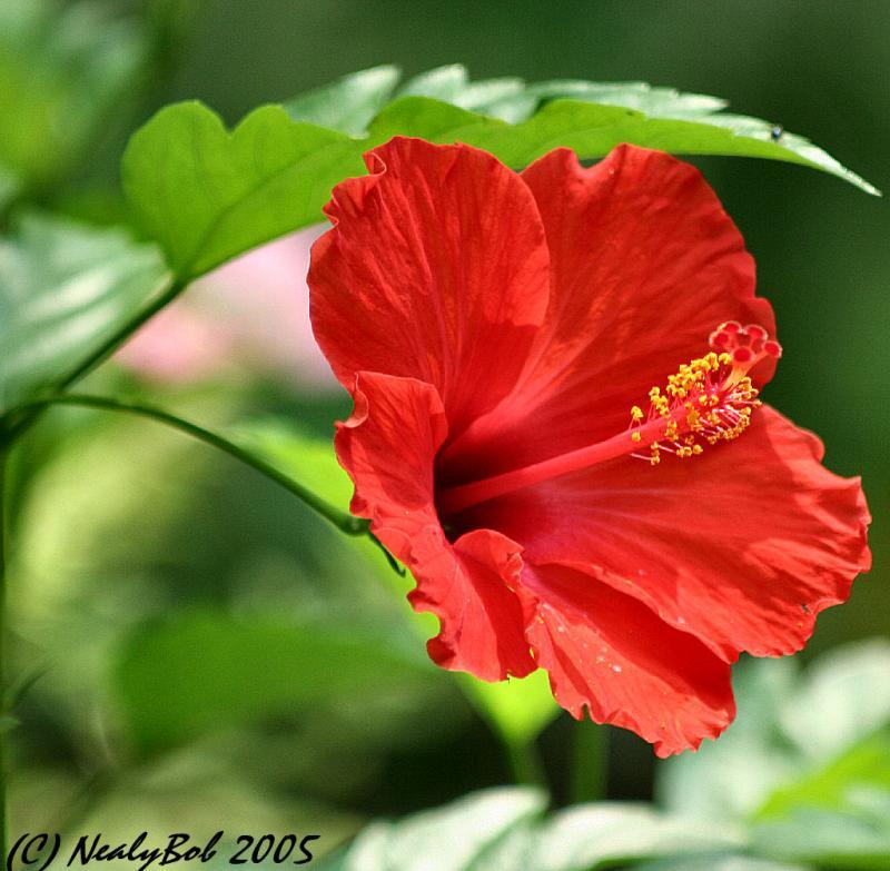 Red Hibiscus *