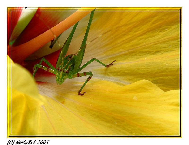 Macro GrassHopper On Hibiscus *
