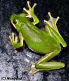 Fredie Frog *