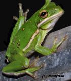 Green Frog *