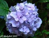 Hydrangea August 15 *