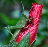 Macro Grasshopper August 17 *