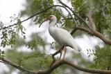 White Ibis contemplating flight