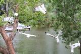 White Ibises take flight