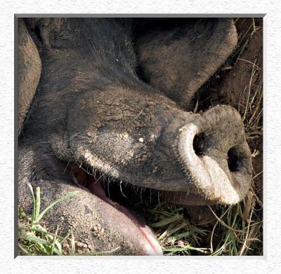 Tell a Pig a Joke