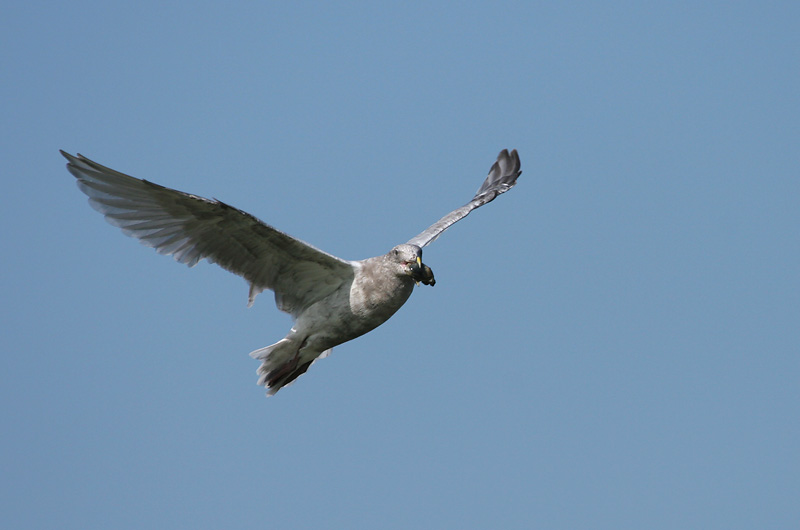Gull with mussel