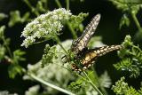 Anise Swallowtail on Poison Hemlock