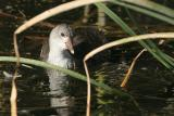 Common Moorhen, juvenile