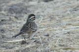 Lark Sparrow, juvenile