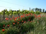 l'Escarrat vineyard & Poppies