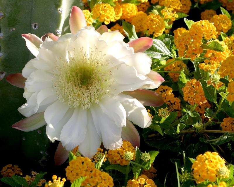 Cereus amidst the Lantana