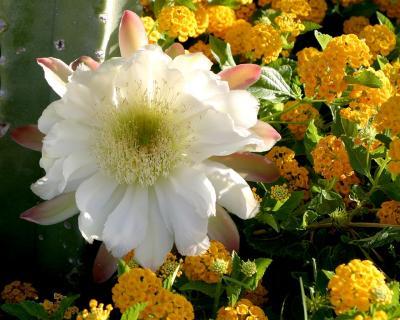 Cereus amidst the Lantana
