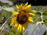 wSunflower1.jpg