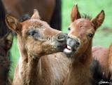 Polish Hucul horses