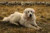 October 28, 2005 - Great Pyrenees and Flock