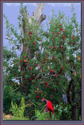 Apple orchards in Pilio, Greece
