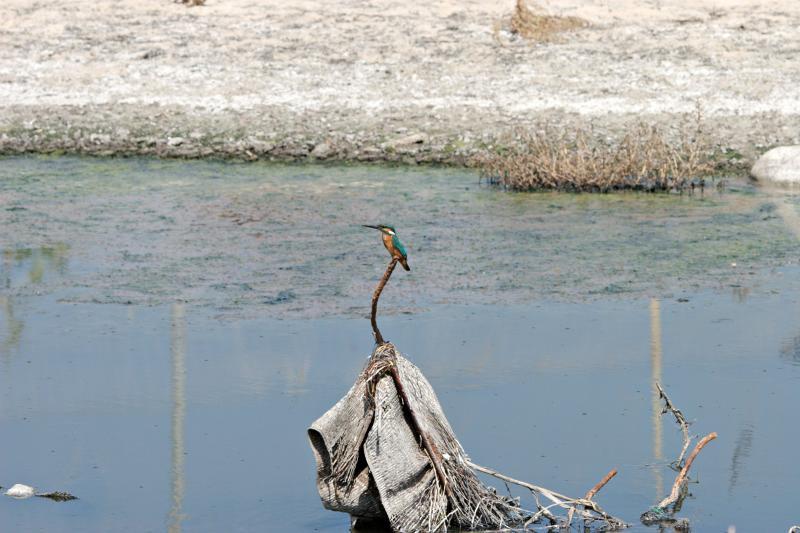 Kingfisher amidst sewage