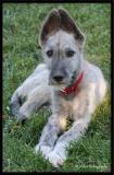 Baby Wolfhound