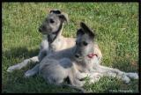Wolfhound Puppies